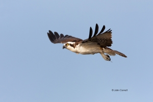 Birds-of-Prey;Flying-Bird;Osprey;Pandion-haliaetus;Photography;action;active;alo