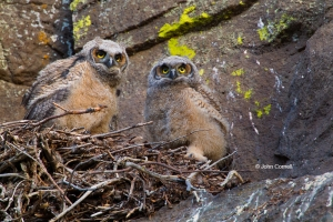 Bubo-virginianus;Great-Horned-Owl-Owl;Nest;Nesting-Bird;Oregon;Smith-Rock-State-