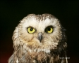 Northern-Saw-whet-Owl;Owl;Aegolius-acadicus;Birds-of-Prey;Curved-Beak;Hunter;Hun
