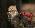 Owl;Eastern-Screech-Owl;Screech-Owl;Otus-asio;one-animal;close-up;color-image;no