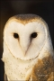 Colorado;Raptors;Barn-Owl;Male;portrait;one-animal;close-up;color-image;nobody;p