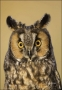 Long-eared-Owl;Colorado;Female;Asio-otus;portrait;one-animal;close-up;color-imag