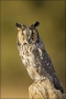 Long-eared-Owl;Colorado;Female;Asio-otus;one-animal;close-up;color-image;nobody;