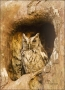 Florida;Everglades;Owl;Screech-Owl;Nest-Hole;Eastern-Screech-Owl;Otus-asio;one-a