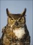 Great-Horned-Owl;Owl;Florida;Southeast-USA;Bubo-virginianus;one-animal;close-up;