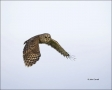 Barred-Owl;Owl;Flight;Strix-varia;flying-bird;one-animal;close-up;color-image;no