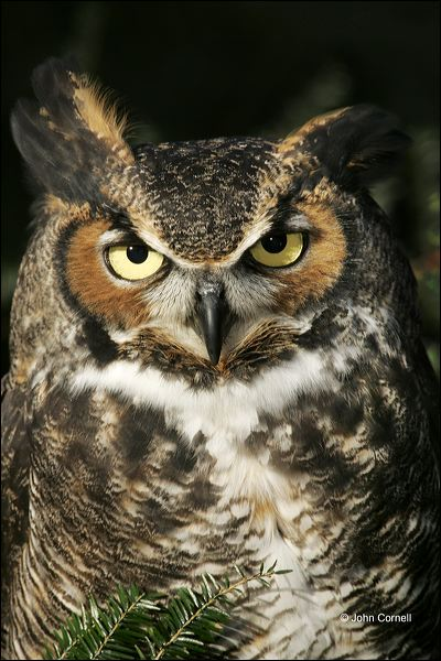 Great Horned Owl;Owl;Bubo virginianus;one animal;close-up;color image;nobody;photography;day;outdoors. Wildlife;birds;animals in the wild;Birds of Prey;Curved Beak;Hunter;Hunters;Predator;Predatory;Talon;Talons;Raptor;Raptors;avifauna;feathered;feathers;wilderness;perch;perching;watch;portrait;eye;nature;wild;looking;perched;watchful