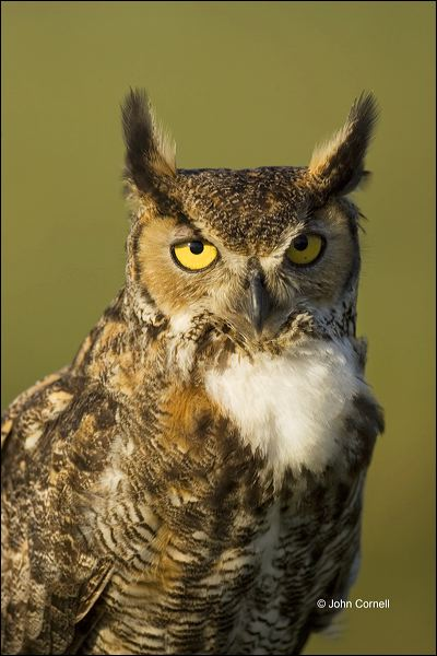 Great Horned Owl;Owl;Florida;Southeast USA;Bubo virginianus;one animal;close-up;color image;nobody;photography;day;outdoors. Wildlife;birds;animals in the wild;Birds of Prey;Curved Beak;Hunter;Hunters;Predator;Predatory;Talon;Talons;Raptor;Raptors;avifauna;feathered;feathers;wilderness;perch;perching;watch;portrait;eye;nature;wild;looking;perched;watchful