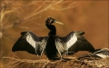 Anhinga;Florida;Southeast-USA;Drying;one-animal;close-up;color-image;nobody;phot