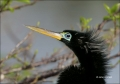 Anhinga;Breeding-Plumage;Male;Drying;portrait;one-animal;close-up;color-image;no