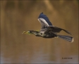 Florida;Southeast-USA;Anhinga;Flight;Nesting;Anhinga-anhinga;flying-bird;one-ani