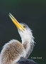 Anhinga;Anhinga-anhinga;portrait;one-animal;close-up;color-image;photography;day