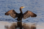 Double-crested-Cormorant;Drying;One;Phalacorax-auritus;Sun;avifauna;bird;birds;c