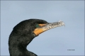 Florida;Southeast-USA;Double-crested-Cormorant;Phalacrocorax-auritus;Double-cres