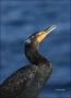 California;Southwest-USA;Double-crested-Cormorant;Cormorant;Breeding-Plumage;Dou
