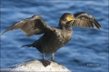 California;Southwest-USA;Double-crested-Cormorant;Cormorant;Phalacrocorax-auritu