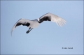 Japanese-Crane;Red-crowned-Crane;Crane;Grus-Japonensis;Japan;Tancho;Endangered-S