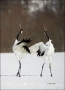 Japanese-Crane;Red-crowned-Crane;Crane;Grus-japonensis;Japan;Dancing-bird;one-an