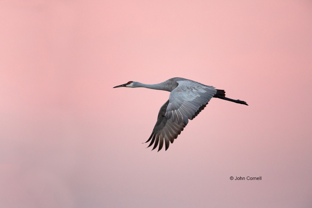 Crane;Flying Bird;Grus canadensis;Photography;Sandhill Crane;Sunrise;action;active;aloft;behavior;birds;color image;flight;fly;flying;in flight;motion;movement;one animal;soar;soaring;wing;winged;wings