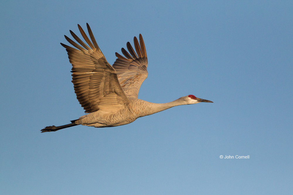 Crane;Grus canadensis;One;Sandhill Crane;avifauna;bird;birds;color image;color photograph;feather;feathered;feathers;flight;natural;nature;outdoor;outdoors;wild;wilderness;wildlife