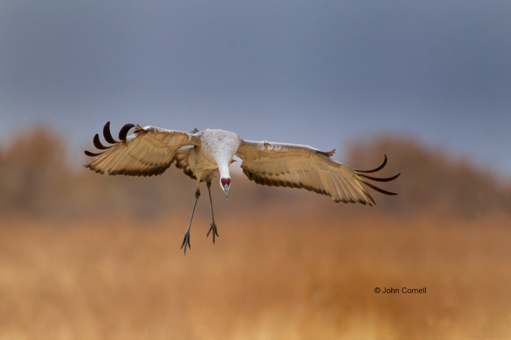 Bosque del Apache National Wildlife Refuge;Flying Bird;Grus canadensis;Photography;Sandhill Crane;action;active;aloft;behavior;birds;close up;color image;flight;fly;flying;in flight;motion;movement;one animal;soar;soaring;wildlife;wing;winged;wings