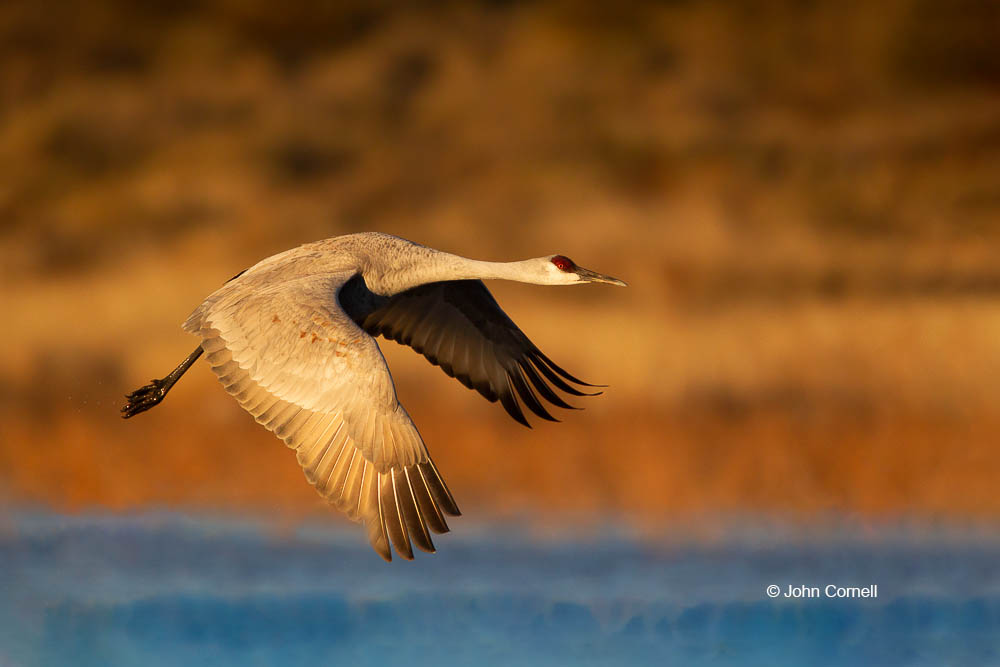 Crane;Flying Bird;Grus canadensis;Photography;Sandhill Crane;action;active;aloft;behavior;birds;color image;flight;fly;flying;in flight;motion;movement;one animal;soar;soaring;wing;winged;wings
