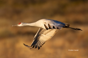 Crane;Grus-canadensis;One;Sandhill-Crane;Sunrise;avifauna;bird;birds;color-image