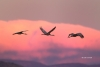 Crane;Flying-Bird;Grus-canadensis;Mountains;Photography;Sandhill-Crane;Sunset;ac