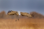 Bosque-del-Apache-National-Wildlife-Refuge;Flying-Bird;Grus-canadensis;Photograp
