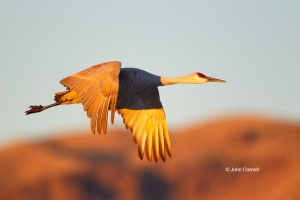 Crane;Flying-Bird;Grus-canadensis;Photography;Sandhill-Crane;Sunrise;action;acti