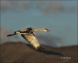 Sandhill-Crane;Crane;Flight;flying-bird;one-animal;close-up;color-image;nobody;p