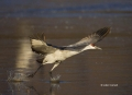 New-Mexico;Sandhill-Crane;Crane;Flight;Southwest-USA;Grus-canadensis;Flying-bird