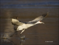 New-Mexico;Southwest-USA;Sandhill-Crane;Crane;Grus-canadensis;flying-bird;one-an