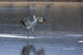 Sandhill-Crane;Crane;Grus-canadensis;One;one-animal;avifauna;bird;birds;feather;