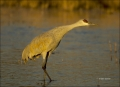 New-Mexico;Sandhill-Crane;Crane;Southwest-USA;Grus-canadensis;one-animal;close-u