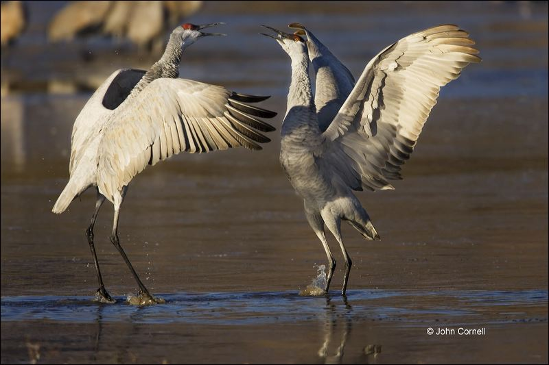 New Mexico;Southwest USA;Sandhill Crane;Crane;Grus canadensis;Pair;close-up;color image;nobody;photography;day;birds;animals in the wild;avifauna;bird;feather;feathered;outdoors;outside;untamed;wild;color;color photograph;daytime;close up;feathers;wilderness;watching;watchful;Close up;Wildlife;Pair of Birds