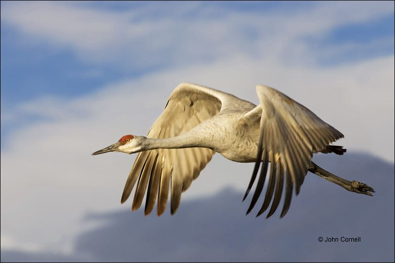 Southwest USA;Sandhill Crane;Crane;Grus canadensis;flying bird;one animal;close-up;color image;nobody;photography;day;outdoors. Wildlife;birds;animals in the wild;flight;Flying Bird;action;active;aerodynamic;behavior;flying;glide;gliding;in flight;soar;soaring;wing;winged;wings