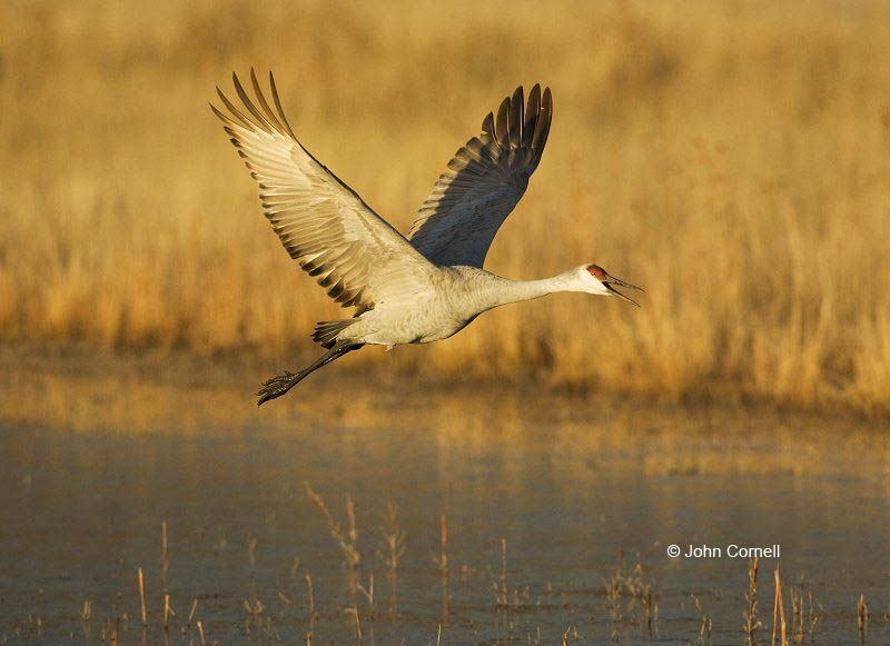 Sandhill Crane;Crane;Grus canadensis;One;one animal;avifauna;bird;birds;feather;feathered;outdoors;outside;untamed;wild;color;color photograph;daytime;close up;color image;photography;animals in the wild;feathers;wilderness;watching;watchful;Flying bird;action;aloft;behavior;flight;fly;flying;soar;wing;winged;wings;Color Image;Photography;Birds;Animals in the Wild;Flight;Action;Active;in flight;motion;movement;soaring;Close up;Flying Bird;active;aerodynamic;glide;gliding