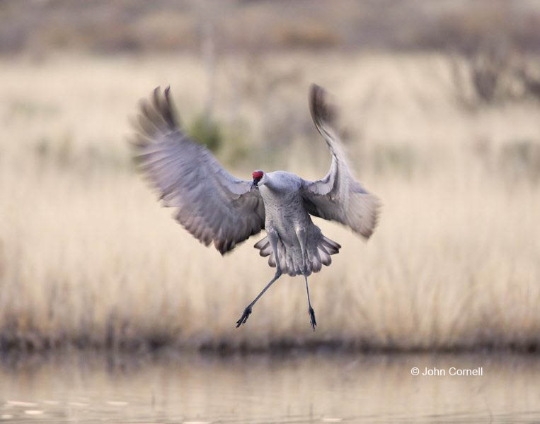 Sandhill Crane;Crane;Grus canadensis;Flying bird;action;aloft;behavior;flight;fly;flying;soar;wing;winged;wings;one animal;Color Image;Photography;Birds;Animals in the Wild;Flight;Action;Active;in flight;motion;movement;soaring;One;avifauna;bird;birds;feather;feathered;outdoors;outside;untamed;wild;color;color photograph;daytime;close up;color image;photography;animals in the wild;feathers;wilderness;watching;watchful;Flying Bird;active;aerodynamic;glide;gliding