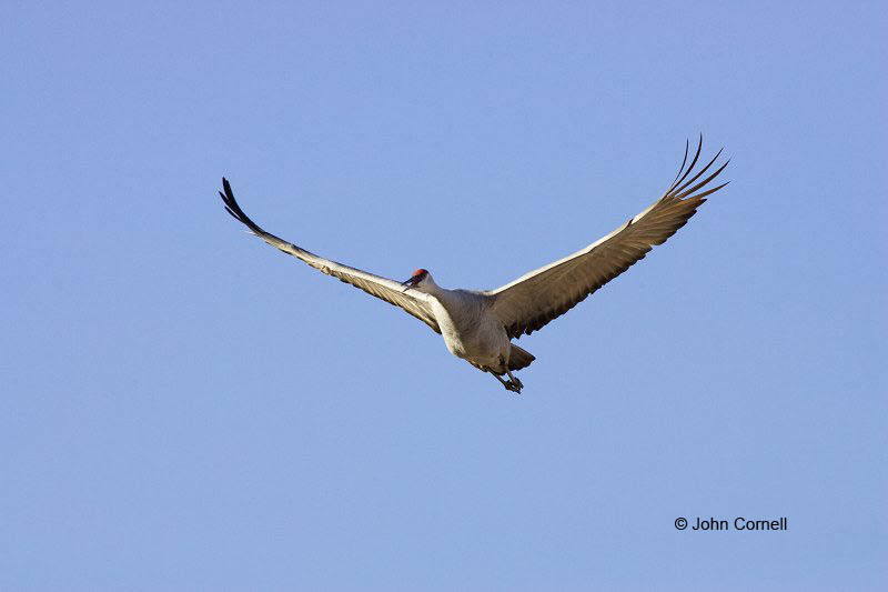 New Mexico;Sandhill Crane;Crane;Flight;Southwest USA;Grus canadensis;Flying bird;action;aloft;behavior;flight;fly;flying;soar;wing;winged;wings;one animal;Color Image;Photography;Birds;Animals in the Wild;Action;Active;in flight;motion;movement;soaring;One;avifauna;bird;birds;feather;feathered;outdoors;outside;untamed;wild;color;color photograph;daytime;close up;color image;photography;animals in the wild;feathers;wilderness;watching;watchful;Close up;Flying Bird;active;aerodynamic;glide;gliding