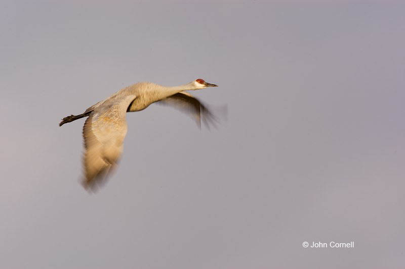 Sandhill Crane;Crane;Grus canadensis;Flying bird;action;aloft;behavior;flight;fly;flying;soar;wing;winged;wings;one animal;Color Image;Photography;Birds;Animals in the Wild;Flight;Action;Active;in flight;motion;movement;soaring;Flying Bird;active;aerodynamic;glide;gliding