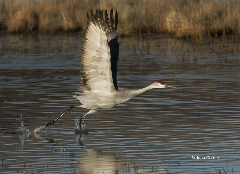 Sandhill Crane;Crane;Flight;Grus canadensis;flying bird;one animal;close-up;color image;nobody;photography;day;outdoors. Wildlife;birds;animals in the wild;flight;Flying bird;action;aloft;behavior;fly;flying;soar;wing;winged;wings;Color Image;Photography;Birds;Animals in the Wild;Action;Active;in flight;motion;movement;soaring;Flying Bird;active;aerodynamic;glide;gliding