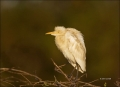 Cattle-Egret;Egret;Bubulcus-ibis;one-animal;close-up;color-image;nobody;photogra