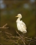 Cattle-Egret;Egret;Bubulcus-ibis;avifauna;feathered;feathers;wilderness;perch;pe