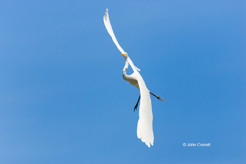 Ardea alba;Egret;Flying Bird;Great Egret;Photography;action;active;aloft;behavior;birds;color image;flight;fly;flying;in flight;motion;movement;one animal;soar;soaring;wing;winged;wings