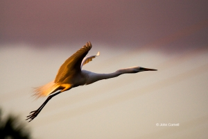 Ardea-alba;Egret;Flying-Bird;Great-Egret;Photography;Sunrise;action;active;aloft