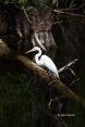 Animals-in-the-Wild;Ardea-alba;Big-Cypress;Cypress-Swamp;Cypress-Trees;Egret;Eve