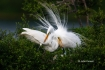 Ardea-alba;Egret;Great-Egret;Nest;Nesting;Nesting-Bird;aerie;color-image;color-p