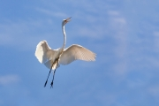 Ardea-alba;Breeding-Behavior;Breeding-Plumage;Egret;Flying-Bird;Great-Egret;acti