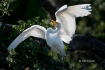 Ardea-alba;Egret;Great-Egret;Nest;Nesting;Nesting-Bird;Offspring;aerie;chick;chi